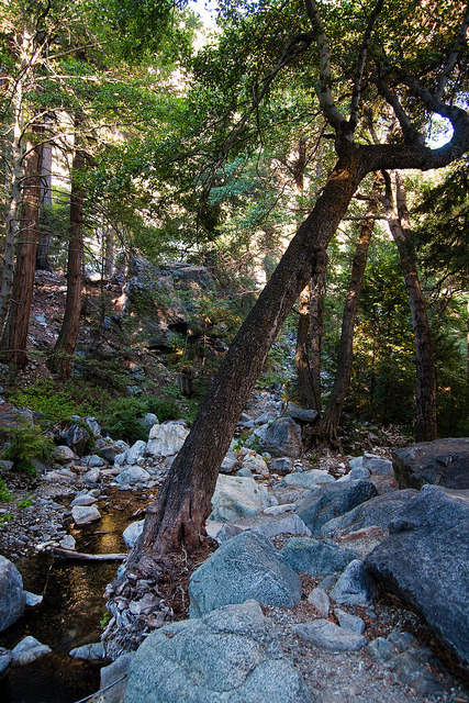 the leaning tree of icehouse on Flickr. Icehouse Canyon Trail - Cucamonga Wilderness / Angeles National Forest, Ca.facebook .prints .twitter