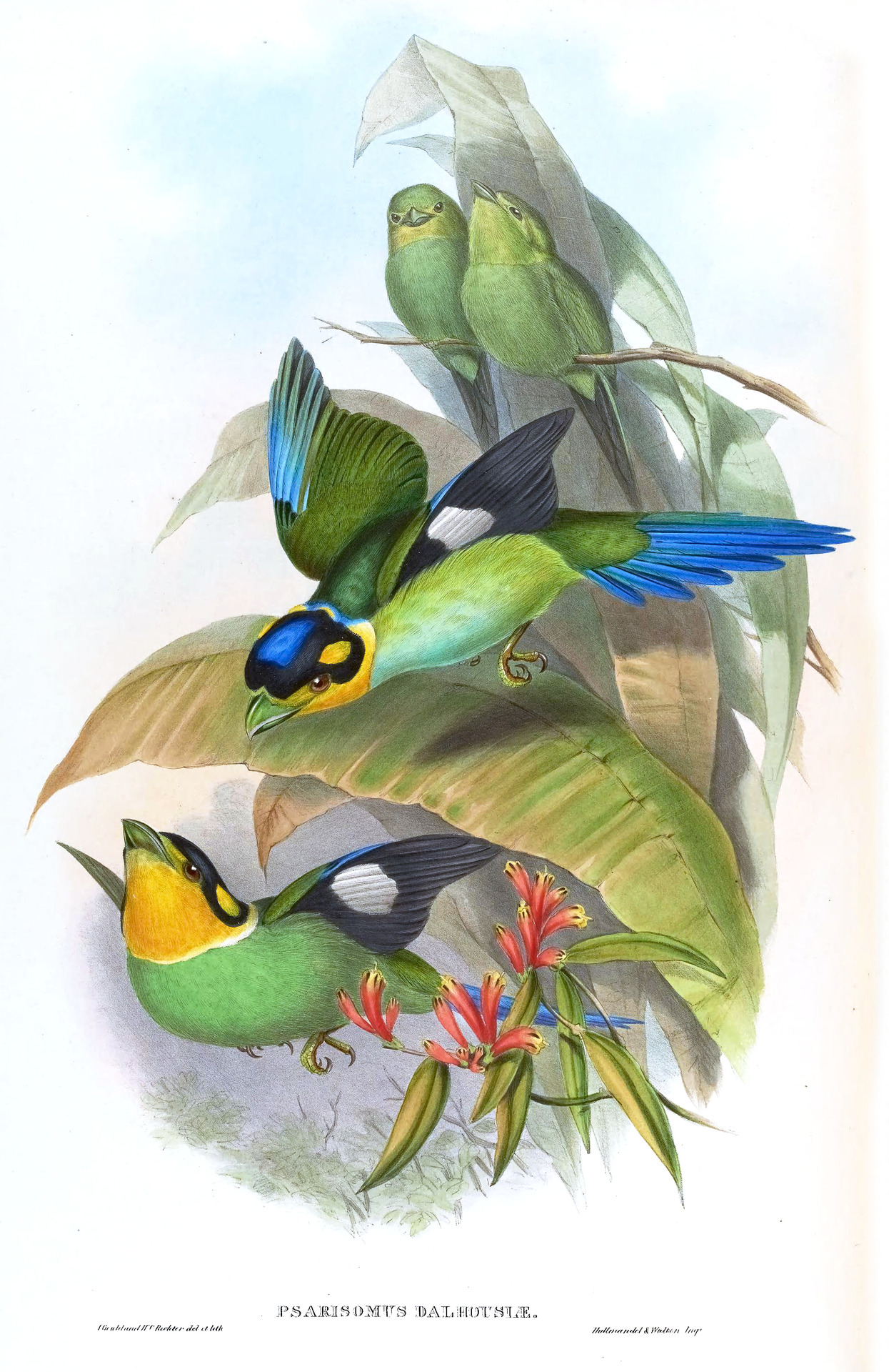 rhamphotheca:  Long-tailed Broadbill, Psarisomus dalhousiae (Jameson) from Birds of Asia, Vol. I, Parts I,-VI, by John Gould, 1850-54. Painted by John Gould & Henry C. Richter