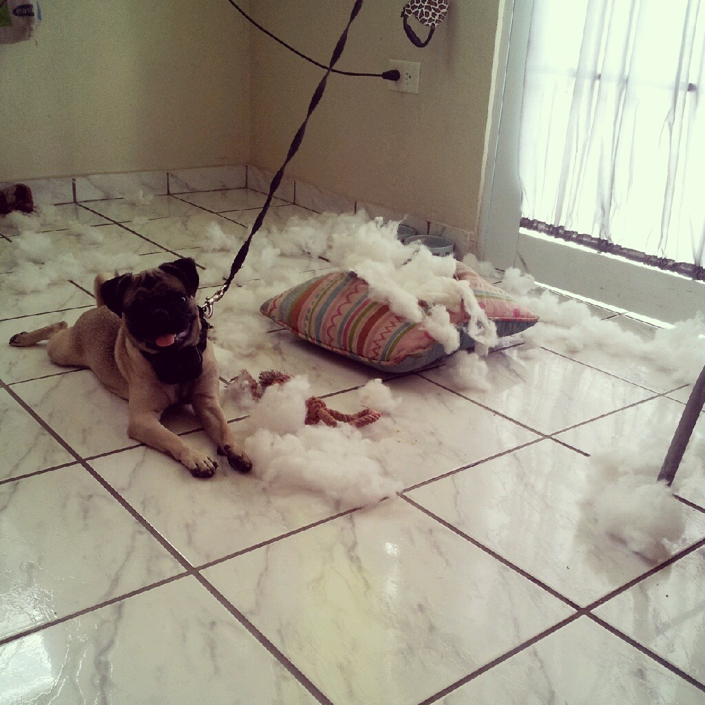 bobdoom:  losdiasdefrida:  Thanks for the pillow mommy.  pug-life