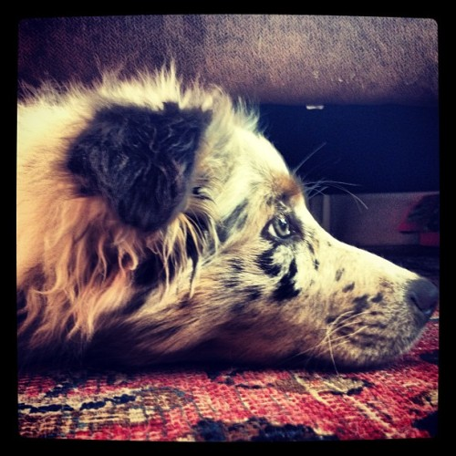 Puppy likes lying under the sofa :D (Taken with Instagram)