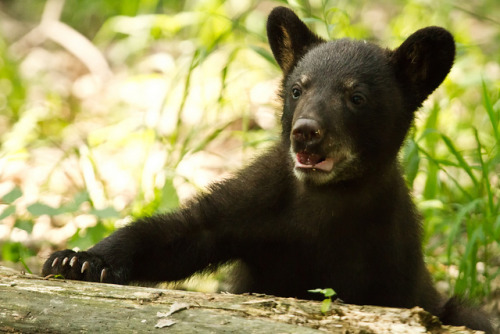 worldlyanimals:  Black Bear Cub (w4nd3rl0st)