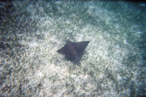white spotted eagle ray by Frankyboy73 on Flickr.