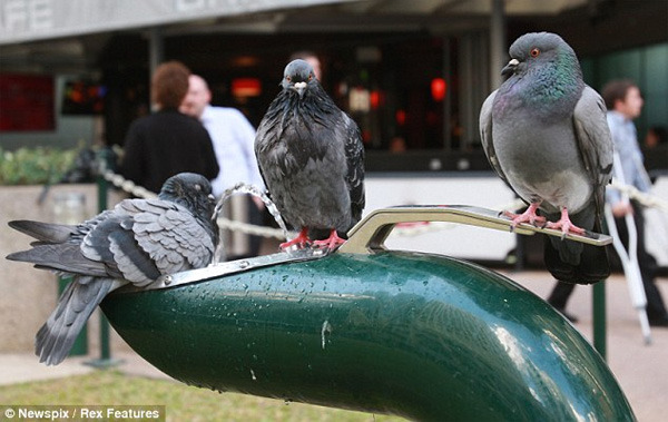 fuckyeahpigeon:  How many pigeons does it take to use a drinking fountain? In Brisbane, Australia, apparently the answer is three! Earlier this month, a trio of industrious birds Down Under figured out how to operate a water fountain by observing humans and then making their move when the coast was clear. The feathered friends reportedly spent 10 minutes bathing and sipping from the fountain, taking turns pushing the lever for each other until all were quenched. Who are you calling a birdbrain now?  Pigeon post trifecta now in play.