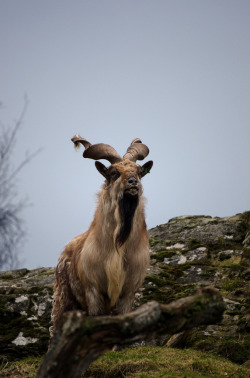"metazoa-etcetera:  A Markhor (Capra falconeri) says 'cheese' for the camera.  The name is thought to be derived from the Persian word mar, meaning snake, and khor, meaning ""eater"". According to folklore, the markhor will kill and eat snakes. While chewing the cud, the markhor produces a foam-like substance that is sought after by the local people, who believe it is useful in extracting venom from snake-bite wounds. [Photo Source.]"