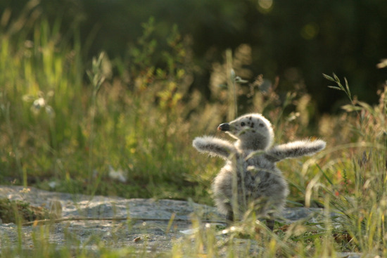 Great Black-backed Gull chick stretches its wings.