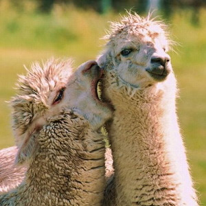lover-of-many-lies:  lover-of-many-lies: Hey lil llama let me whisper in your ear