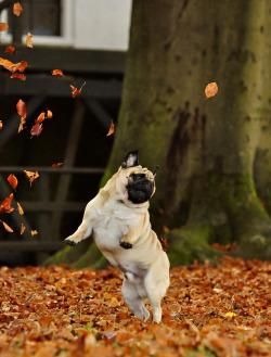 dog funny cute puppy fall autumn seasonal pug jump leaves changing leaves falling leaves seasonal love