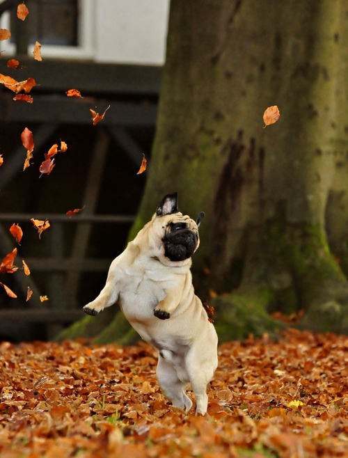 "tranqualizer:  [photo: a pug in mid air, hopping in fallen orange leaves.] ""all my life i've been searching for the right leaves. i can't believe this moment""  This picture makes me so happy! ♥"