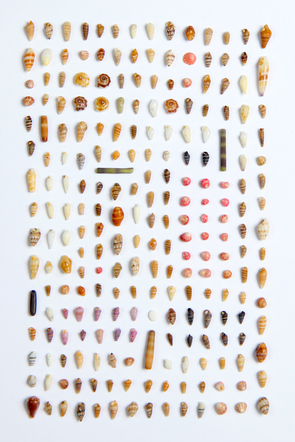 SUBMISSION: Shells collected on the coast of Princeville, by Matt Naylor