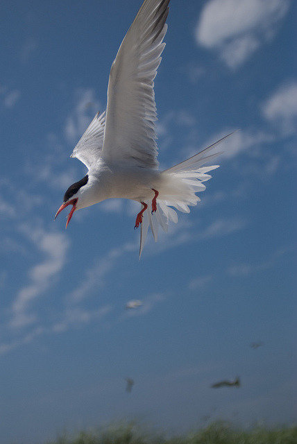 animalgazing:  Photo of the Week - Tern at Monomoy National Wildlife Refuge, MA by U. S. Fish and Wildlife Service - Northeast Region on Flickr.