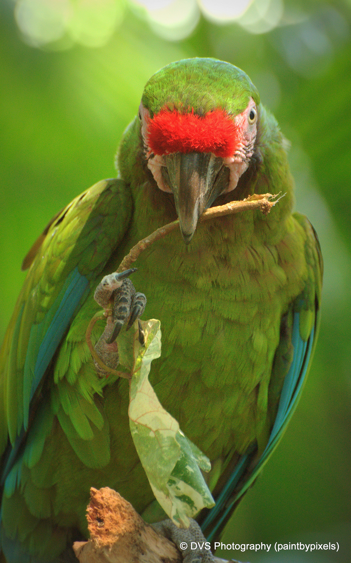 Green Cheeked Amazon by paintbypixels