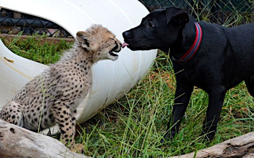 allcreatures:    Max the 13-week Labrador mix gives Savannah the cheetah cub a wet kiss on her nose as they play together at Cincinnati Zoo in America. The zoo's Cat Ambassador Programme sees that all their cheetahs have dog companions. Spokesperson Tiffany Barnes explains the idea behind the programme: In Africa, Anatolian Shepherd dogs are being given to farmers to live with their live stock. This breed of dog is unique in that it devotes itself fully to whatever it is raised with, so the pups are given to the farmers at a young age. Cheetahs, being skittish animals, will do as they typically do and hunt the farmers live stock. But, when they hear the dog barking they will run away, which saves the farmer from having to shoot the cheetah. The zoo says Savannah and Max will always live together in the Cheetah Encounter; they are great friends and will help to spread the message of cheetah conservation and saving endangered animals.  Picture: Michelle Curley/Cincinnati Zoo (via Pictures of the day: 11 September 2012 - Telegraph)