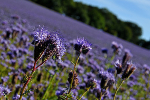 Day 620 - Purple Haze on Flickr.9/8/12 - One more shot from the field of purple flowers near Andover, it was an amazing sight to see, such a beautiful field.