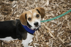 handsomedogs:  This is our 10 month old beagle mix named Birdie! We rescued her from Urban Pet Project in June. She loves going for runs, chasing squirrels and being pretty :)