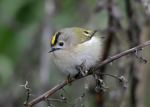 fat-birds:  Goldcrest (Regulus Regulus) by  John Money on Flickr. my last in this spam series and my favorite shot :')