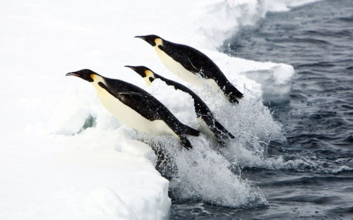 theanimalblog:  Penguins leap simultaneously onto the ice, Antarctica.  Picture: Paul Goldstein / Exodus / Rex Features