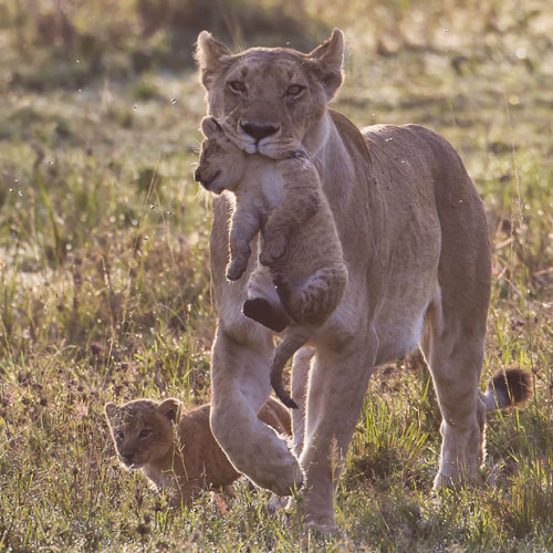 Lion mother with cub, Maasai Mara, Kenya.  Picture: Paul Goldstein / Exodus / Rex Features
