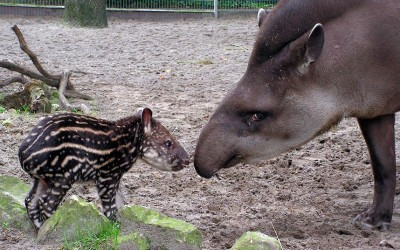 Baby tapir Nando finally comes out into the sun with his mother Peggy at the zoo in Jaderberg, Germany.  Picture: Animal Press / Barcroft Media
