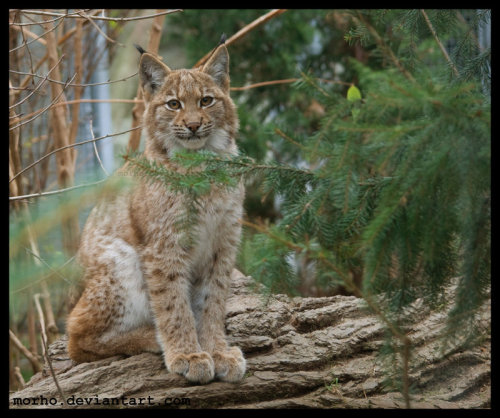eye-of-the-cat:  (morho) Young European Lynx