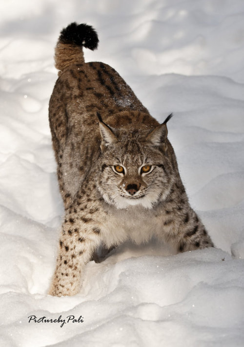 eye-of-the-cat:  (PictureByPali) Aggressive pose of a Lynx