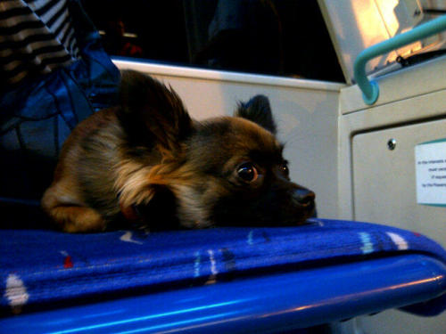 Teddy gives us the eyes. Too sweet. Chihuahua @TillysTails on the DLR in London heading home from visiting friends - September 2012