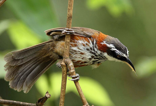 pigeonbound:  小彎嘴 Lesser Scimitar Babbler by chenwenhua0926 on Flickr.