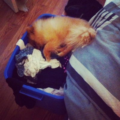 Dude I gotta fold my clothes. I didn't put it there for u to sleep in -_-. #pomeranian #pom #dog #asleep #clothes #really-_-   (Taken with Instagram)