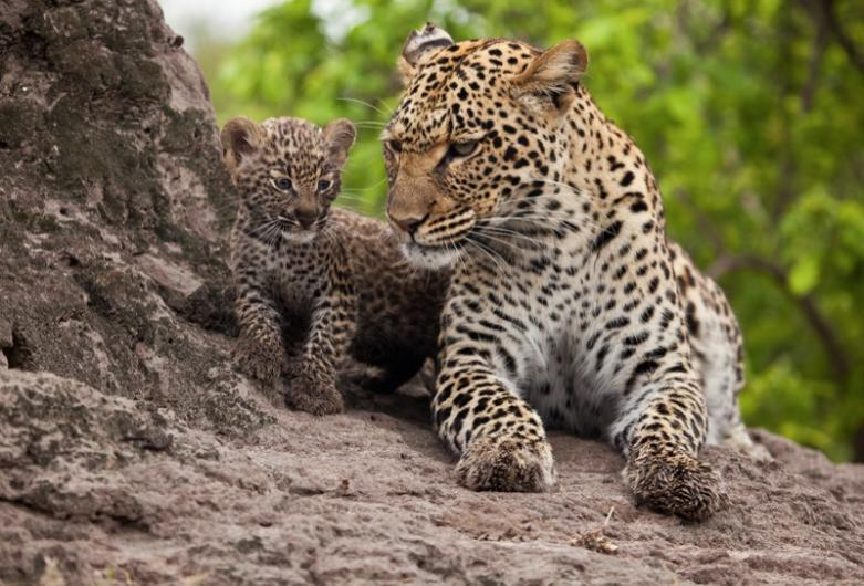 a leopard and pup relax on a termite hill                                                   photography;.. david murray
