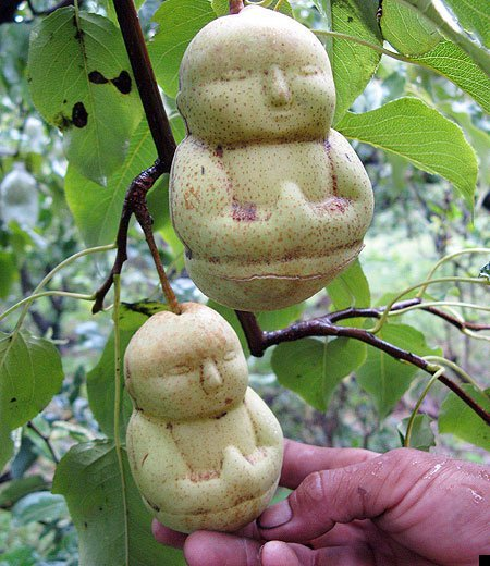 martinekenblog:  Chinese Farmer Grows Buddha-Shaped Pears