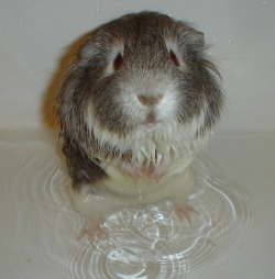 guineapiggies:  ginnypants:  I washed spoonie's backside because his grease gland was kind of gross he freaked out and tried to jump to my shoulder from the tub but slipped and lunged right into my face I got a face full of wet pig eugh  Manly pig problems