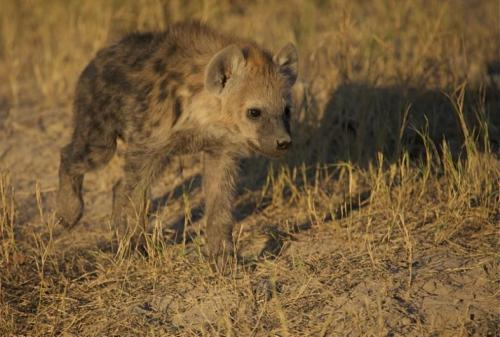 curious hyena spotted near lions                                                                        photo by david murray