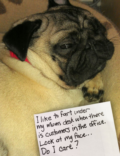 cutepugpics:  Puggie will fart whenever and on whomever he wants! (via dogshame)