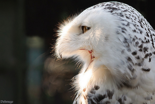 beasts-of-prey:  Snowy Owl by Matt Debouge on Flickr.