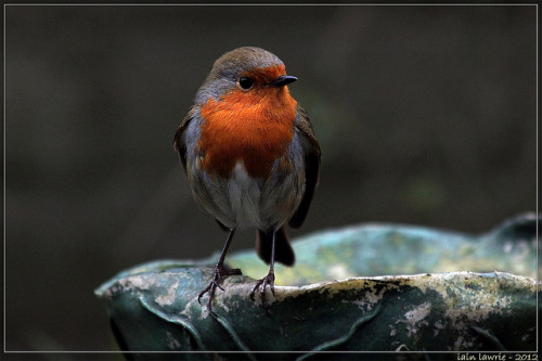 grandad's robin by Insect~O~Saurus on Flickr.