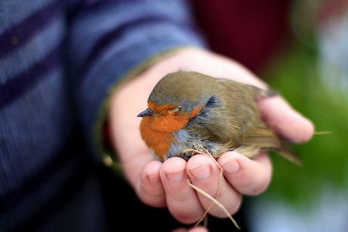 animals cute birds robin european robin