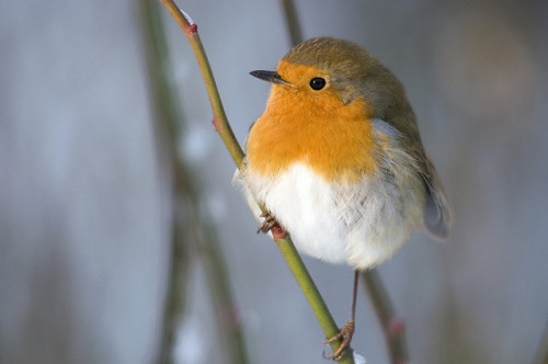 When it's cold, the robins find you! by Joffley on Flickr.