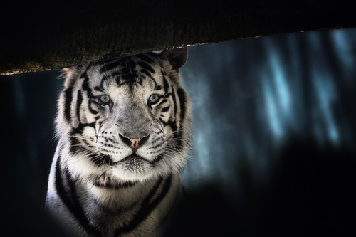 "earth-song:  ""White Tiger"" by Olaf Dziallas"
