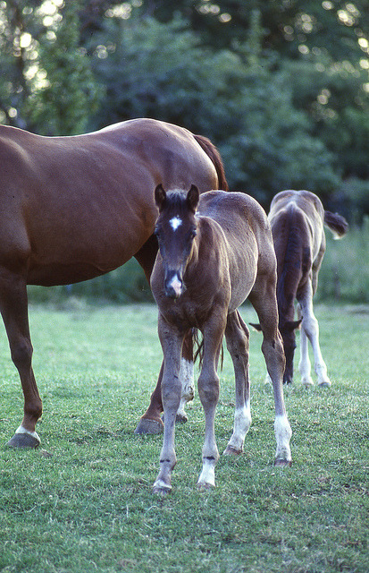 Rheinländer Fohlen - foals on a paddock in the Rhine area by borntobewild1946 on Flickr.