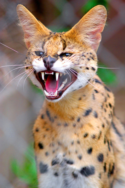 magicalnaturetour:  Serval greets visitors to the zoo by lobaev via redditpics