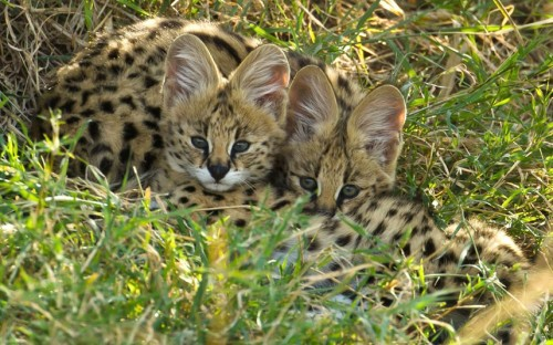 Two Keen Eyed Serval Kittens Huddle Together