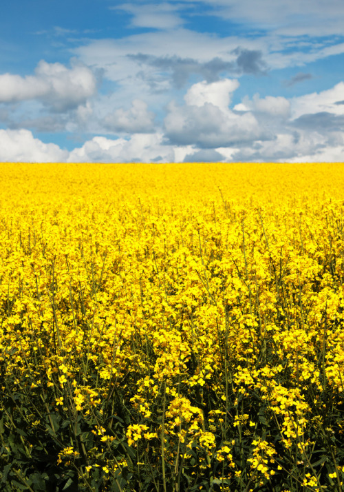 llbwwb:  Fields of yellow (by Sarah*Rose)