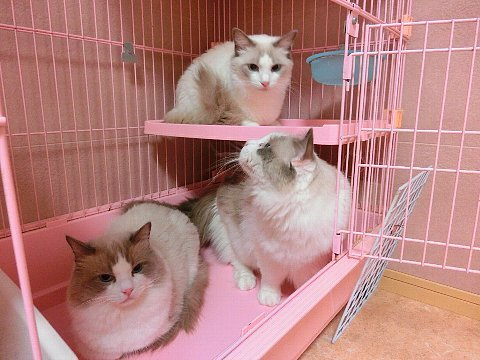 I actually need this pink cage …  and three cats …