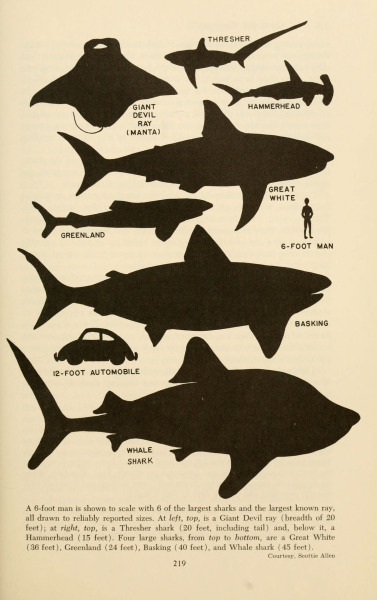 freakyfauna:  Shark silhouettes. From Shadows in the sea, Chilton Books (1963), Philadelphia. Found here.
