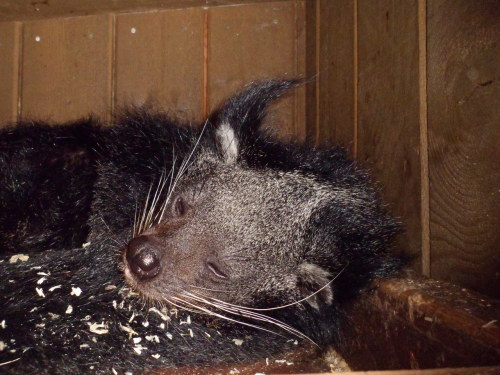 Very the Binturong at Colchester Zoo  Photo taken by Fizzbitch