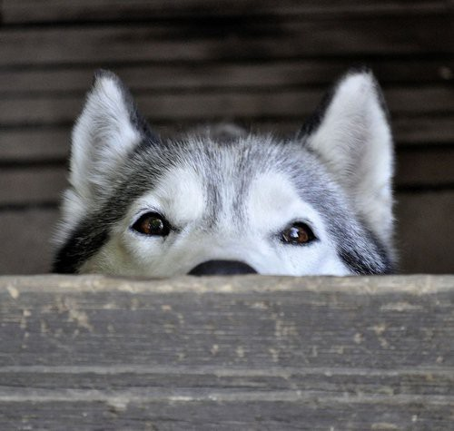 fortheloveofhuskies:  Siberian.
