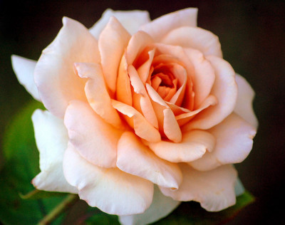 The red rose whispers of passion, And the white rose breathes of love;O, the red rose is a falcon,And the white rose is a dove.But I sent you a cream-white rosebudWith a flush on its petal tips; For the love that is purest and sweetestHas a kiss of desire on the lips.— A White Rose, by John Boyle O' Reilly.
