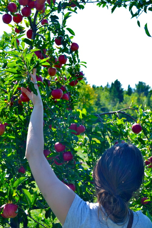 Picking for Apples. Shelburne, Vt. September, 2012.