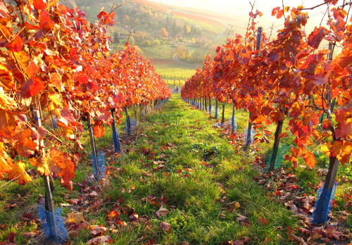 Autumn Vineyard (by Habub3)