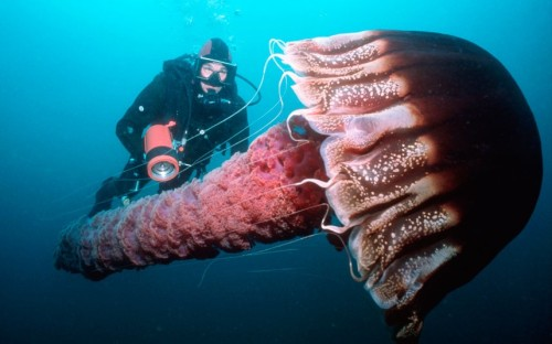 theanimalblog:  A diver swims with a giant pelagic jellyfish in the Pacific Ocean off California.  Picture: Bob Cranston/SeaPics/Solent News & Photo Agency