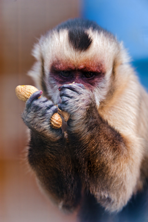 theanimalblog:  Capuchin monkey eating a peanut III (by Tambako the Jaguar)